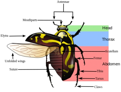 beetle structure