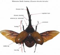 Rhino Beetles